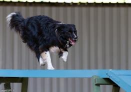 Indie on the dog walk