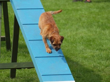 Alfie on the dog walk
